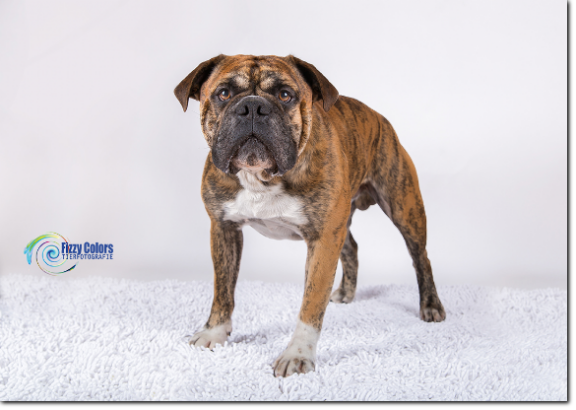 Olde Bulls' Crash, 4 years old Leavitt Bulldog, David Leavitts Olde English Bulldogge