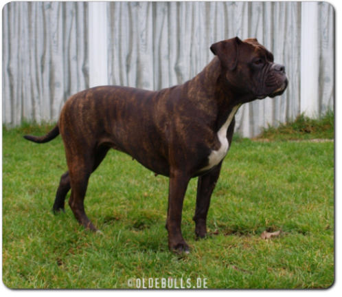Leavitt Bulldog Spirit Bulls Harley - David Leavitts Olde English Bulldogge
