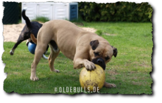 Leavitt Bulldog Olde English Bulldogge mit Crazy Egg