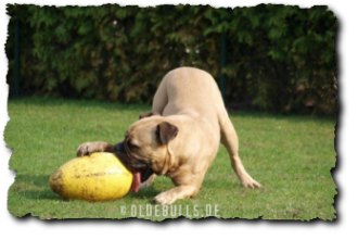 Olde English Bulldogge mit Crazy Egg
