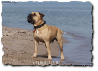 Olde English Bulldogge am Strand