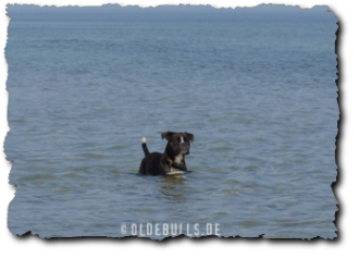 Leavitt Olde English Bulldogge im Wasser