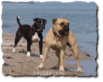 Leavitt Olde English Bulldogge am Strand